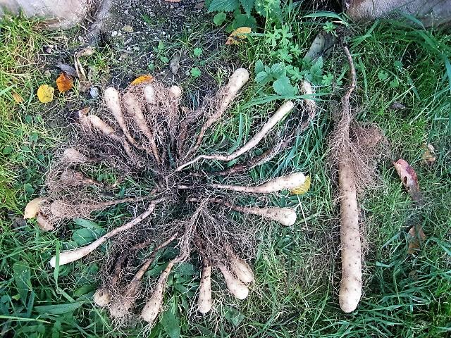 Světelný kořen sklizeň 1.rok